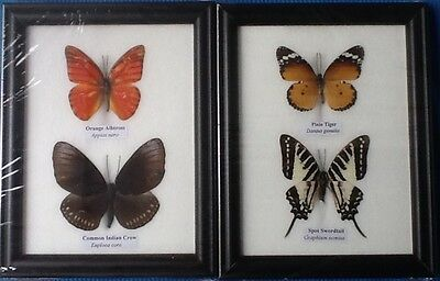 4 Real Butterflies 2 Picture Frame Butterfly Taxidermy Insect Entomology 5