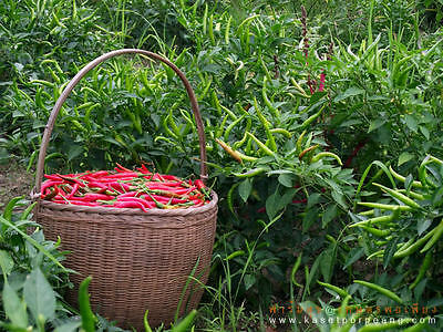 100 Red Thai Chili Seeds Pepper Very Hot Organic Heirloom For Plant Garden 2016