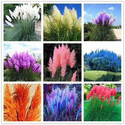 1200 PCS/package PAMPAS GRASS QUALITY Seeds ,rare reed flower QUALITY Seeds for