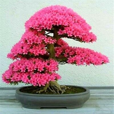 10 Pcs Azalea Seeds Perennial Flower Seeds For Garden in Bonsai