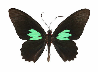 Taxidermy - real papered insects : Papilionidae : Parides sesostris