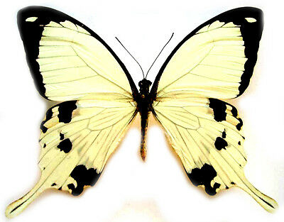 Taxidermy - real papered insects : Papilionidae : Papilio dardanus dardanus