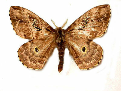 Taxidermy - real papered insects : Saturnidae : Hidripa perdix