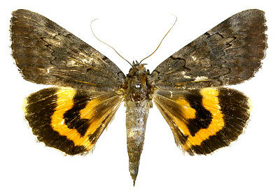 Taxidermy - real papered insects : Noctuoidae : Catocala bella