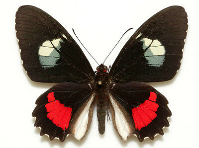 Taxidermy - real papered insects : Papilionidae : Parides iphidamas