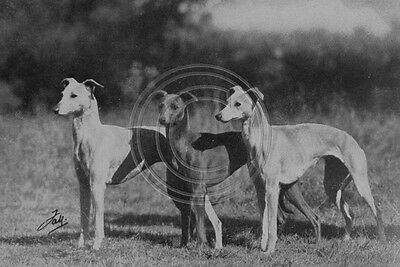 Whippets c.1950 Photo 6x4