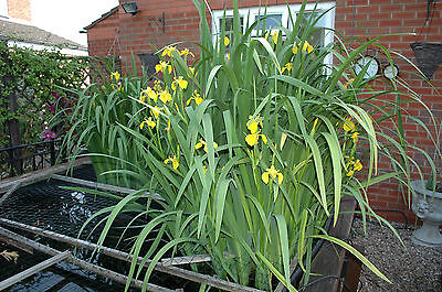 250 SEEDS Water Iris Pseudacorus Pond Plant  Yellow Flag Water Flag Seeds
