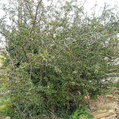 Pyracantha (pyracantha ventoux red) - Ornement