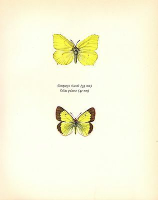 """1917 Vintage BUTTERFLY /""""AMERICAN TORTOISE SHELL/"""" COLOR Art Plate Lithograph"""