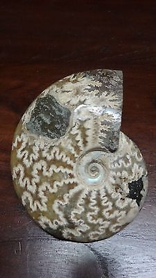 Authentic Natural Fossil Ammonite - 244 gm