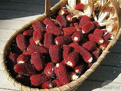 Corn Red Strawberry Popcorn 15 Excellent for Popping Popcorn, Fun for Kid