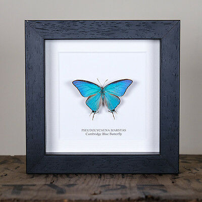 Cambridge Blue Butterfly in Box Frame (Pseudolycaena marsyas)
