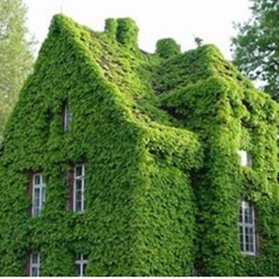 Parthenocissus Wall Plant Seeds Boston Ivy Seed Fast Growing Vine/Climber 2 Bags