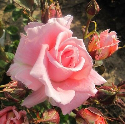 ALWAYS YOU - 4lt Potted Hybrid Tea Garden Bush Rose - Salmon, Fragrant EXCLUSIVE