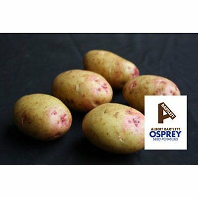Osprey 2nd Early Seed Potatoes Taster Pack