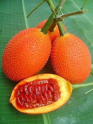 6 GAC GAK Momordica cochinchinensis fruit rare exotic vine plant seed SEEDS