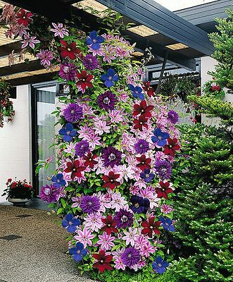 3 x Mixed Clematis - Great Value 9cm Climbers