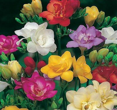 Freesia Double Mixed 20 Bulbs Sweet Fragrance Summer Flowering Free P&p