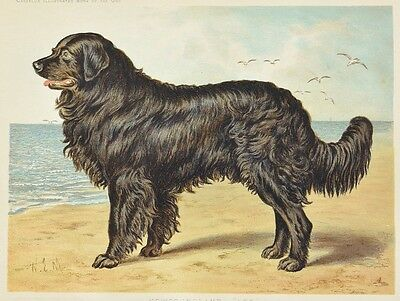 C1890 Chromolithograph The Illustrated Book of the Dog Cassell ~ Newfoundland