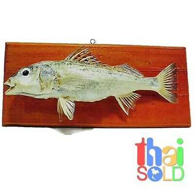 11 inches Pomadasys Kaakan Lined Silver Grunt Fish Taxidermy 140036