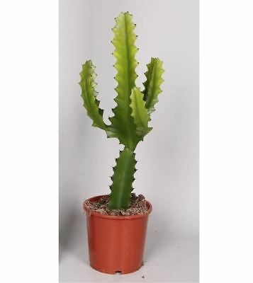 Euphorbia candelabrum house plant cactus in a 12cm pot.  30-50cm tall approx