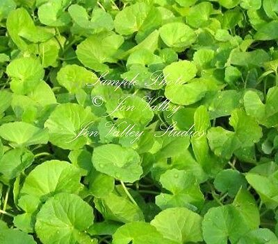 Centella asiatica Asiatic pennywort small annual - perennial herb 20 seeds
