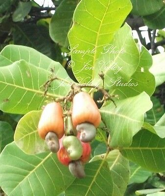Anacardium occidentale Cashew Tree 3 Seeds Tropical Plant Purple Green Leaves
