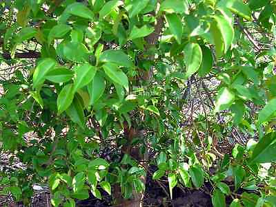 10 Bael Fruit Tree Seeds Aromatic pink flower clusters sub-tropical plant Aegle