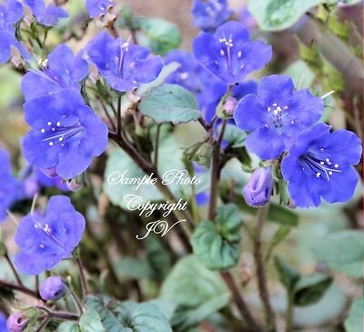 100 Seeds Bluebell Bright Flowers Great Cut Flowers Phacelia campanularia