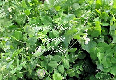 500 Seeds Whistler Winter Pea forage-cover crop Small-large Gardens Hardy to  0