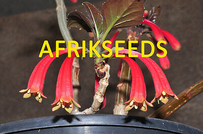 Dermatobotrys Saundersii, Rare Epiphytic Plant From South Africa - 10 Seeds