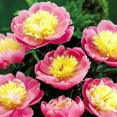 Bulb/Tuber/Root Peony 'Bowl of Beauty' Top Quality Summer Flowering Perennial