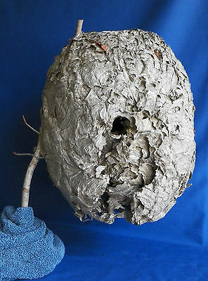 LARGE WASP NEST Genuine Yellowjacket Nest with branch TAXIDERMY SCIENCE DISPLAY