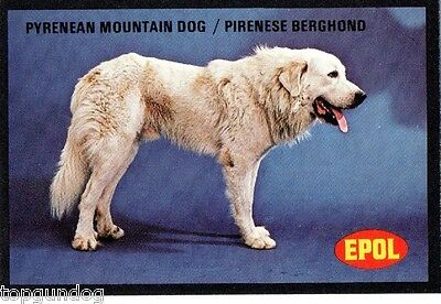 Great Pyrenees Pyrenean Mountain Dog South African Trade Card 1974