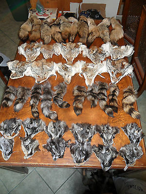 LOT( 42 ) REAL COYOTE,RACCOON TAIL,HEAD,FUR tanned skin and fur native craft