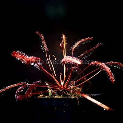 Drosera capensis 'Red' (Gifberg), Carnivorous Plant Sundew Seeds, 50s