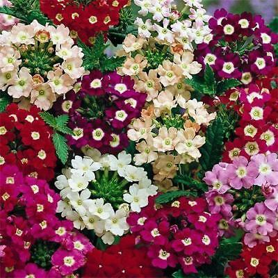 New Pack Kings Seed Verbena 'Mammoth Hybrids Mixed' Quality Flower Seeds