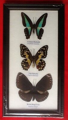 3 Real Butterflies Butterfly Taxidermy Insect Picture Frame Bluebottle Lime Crow