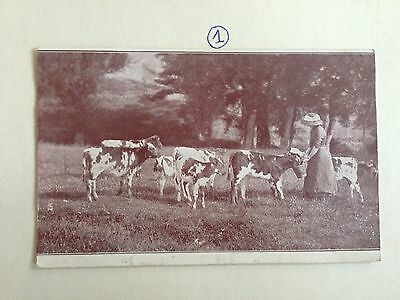 Unkown Lady Feeding The Cows On The Field Early Postcard 1905