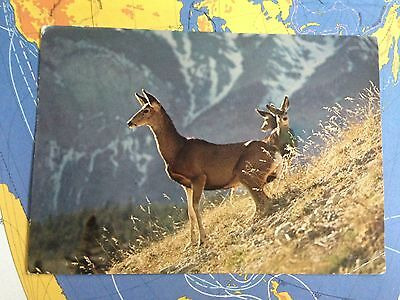 Canada A Mule Deer Doe & Twin Fawns Friendly Animals In Canada's Parks Postcard