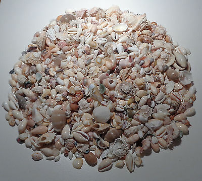 Small Shells for Art and Craft projects Jewellery making Shellcraft app.780grs