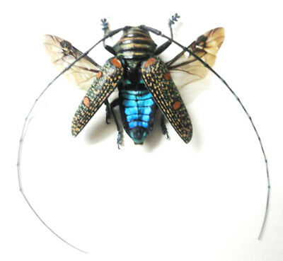 Taxidermy - real papered insects : Cerambycidae : Zographus regalis