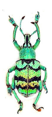 Taxidermy - real papered insects : Curculionidae : Eupholus chevrolati