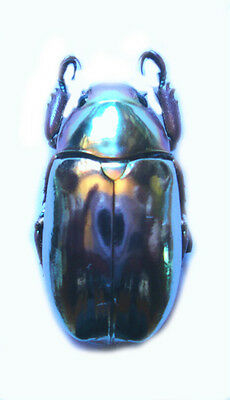 Taxidermy - real papered insects : Rutelinae : Chrysina chrysargyrea PINK form
