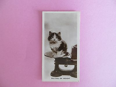 "Cavenders Real Photo Cigarette Card Animal Studies Cute Cat ""Putting On Weight"""