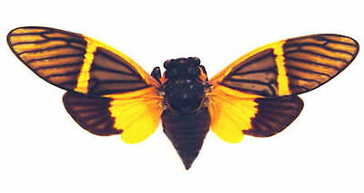 Taxidermy - real papered insects : Cicadidae : Becquartina electa