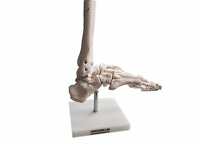 Fristaden Lab Anatomical Foot Skeleton Model with Base Life-Sized, Flexible