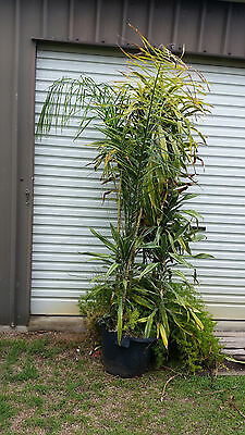 Cordyline plant and palm tree