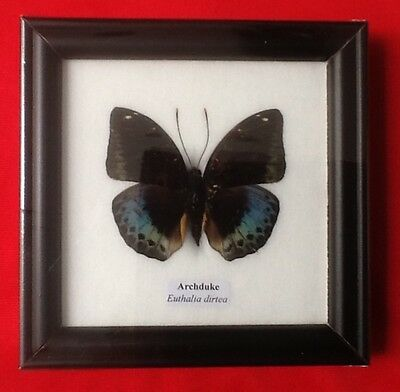 Real Blue Archduke Butterfly Taxidermy Insect Picture Frame Entomology