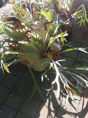 Large staghorn fern WILL DELIVER